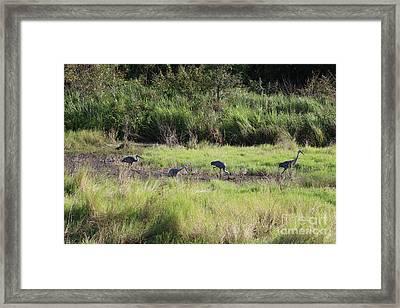 Florida Marsh With Four Sandhill Cranes Framed Print by Carol Groenen
