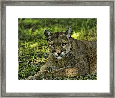 Florida Panther Agitated Framed Print by Keith Lovejoy