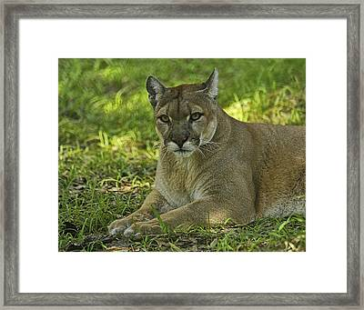Florida Panther Framed Print by Keith Lovejoy