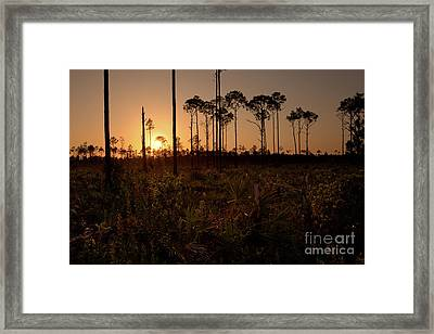 Florida Pine Rocklands At Sunset Framed Print by Matt Tilghman