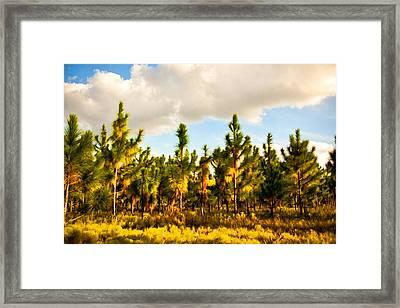 Florida Pines Framed Print