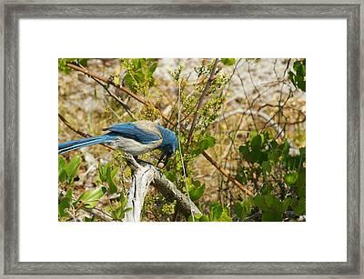Florida Scrub Jay And Acorn Framed Print