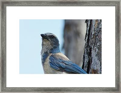 Florida Scrub Jay Close Up 2 Framed Print by Lynda Dawson-Youngclaus