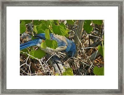 Florida Scrub Jay Eats Acorn Framed Print by Lynda Dawson-Youngclaus