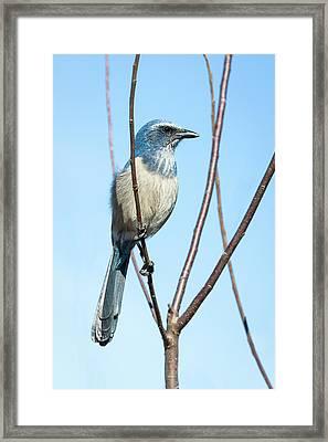 Florida Scrub Jay Iv Framed Print by Dawn Currie