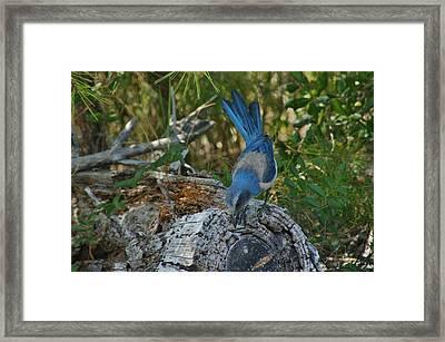 Florida Scrub Jay Looks For Bugs Framed Print by Lynda Dawson-Youngclaus
