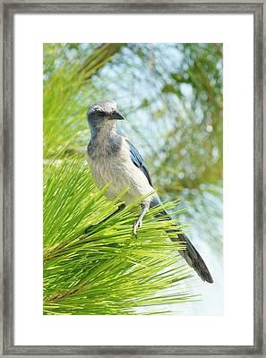 Florida Scrub Jay Framed Print by Lynda Dawson-Youngclaus