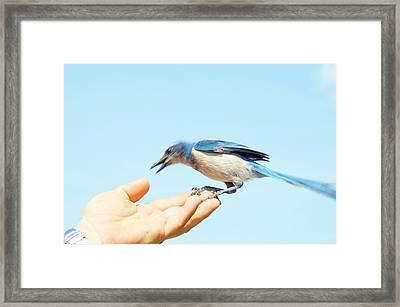 Florida Scrub Jay Takes A Taste Framed Print