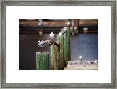 Florida Seagull Playing Framed Print