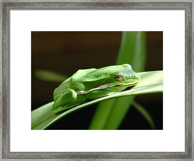 Florida Tree Frog Framed Print by Ned Stacey