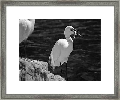 Florida White Egret Framed Print