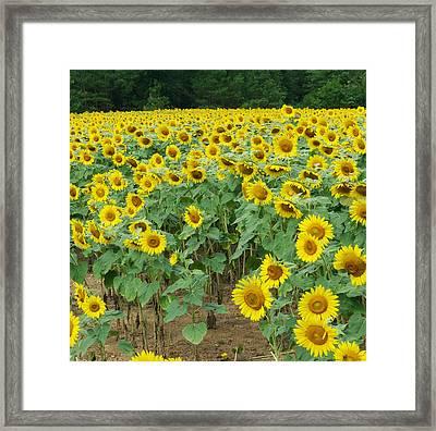 Flower 8-5 Framed Print by Skip Willits