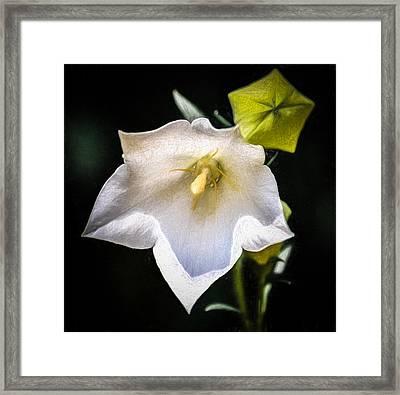 Flower - Balloon Flower - White - Sketch Framed Print by Black Brook Photography