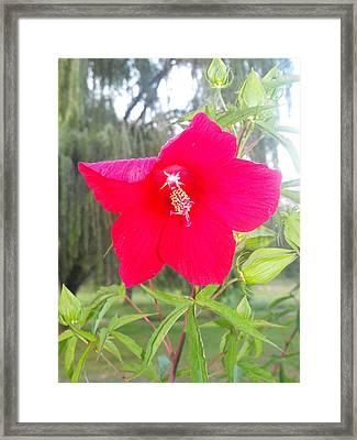 Flower Framed Print by Christy Bearden