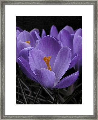 Framed Print featuring the photograph Flower Crocus by Nancy Griswold