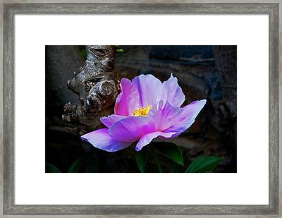 Flower. Dumbarton Oaks Gardens Framed Print