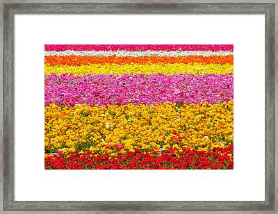 Flower Fields Carlsbad Ca Giant Ranunculus Framed Print by Christine Till