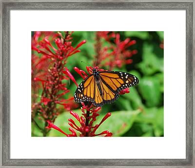 Flower Fly Framed Print by Amanda Vouglas
