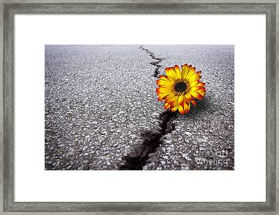 Flower In Asphalt Framed Print by Carlos Caetano