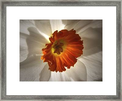 Flower Narcissus Framed Print