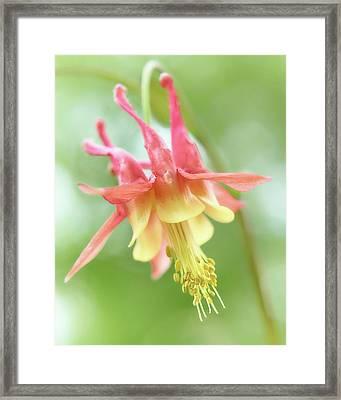 Flower Of Columbine,   Aquilegia Framed Print by Jim Hughes