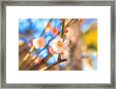 Flower Of Plum Framed Print by Hyuntae Kim
