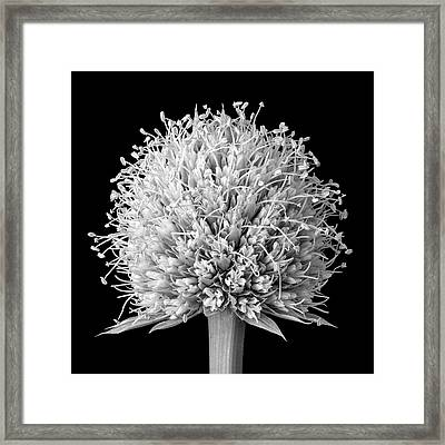 Flower Of Rattlesnake Master Framed Print by Jim Hughes