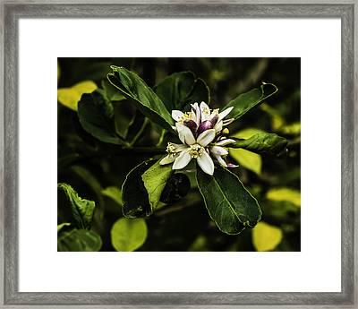 Flower Of The Lemon Tree Framed Print