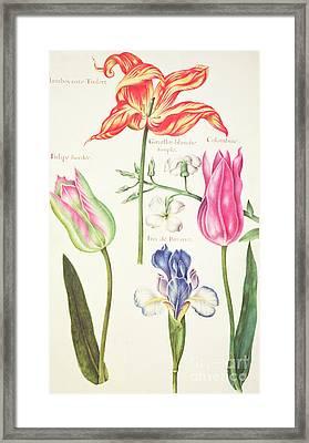 Flower Studies  Tulips And Blue Iris  Framed Print