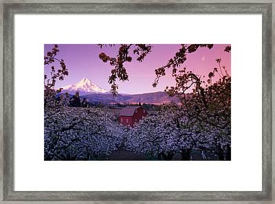 Flowering Apple Trees, Distant Barn Framed Print