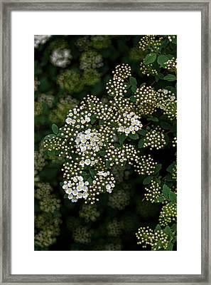 Flowering Bush Framed Print by Robert Ullmann