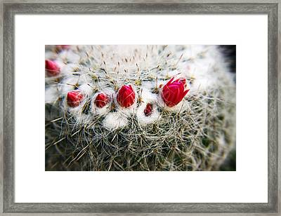 Flowering Cactus Framed Print by Marcus Adkins