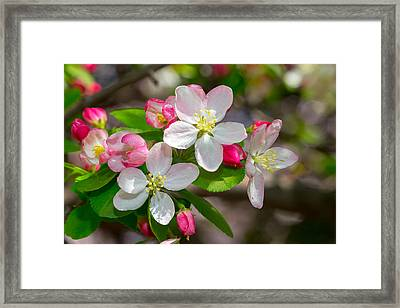 Flowering Cherry Tree Blossoms Framed Print