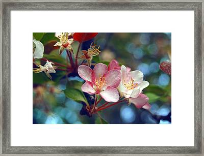 Flowering Crab Framed Print