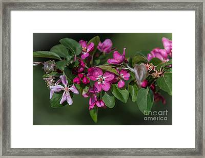 Flowering Crabapple Framed Print by John Roberts