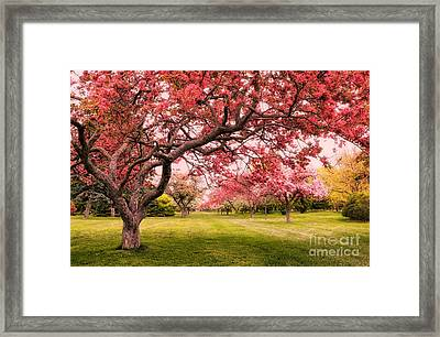Flowering Crabapple Trees Framed Print by Charline Xia