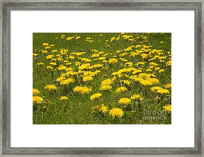 Flowering Dandelions In The Lawn Framed Print by Inga Spence
