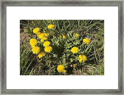 Flowering Dandelions Framed Print by Inga Spence