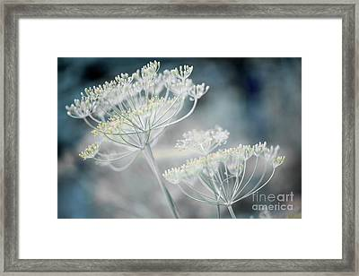 Flowering Dill Clusters Framed Print