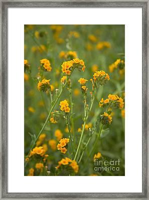 Flowering Fiddleneck Framed Print by Inga Spence