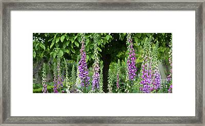 Flowering Foxgloves Framed Print by Tim Gainey