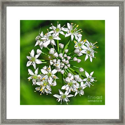 Flowering Garlic Chives Framed Print by Kaye Menner
