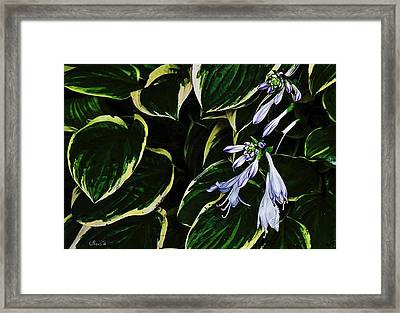 Flowering Hosta Framed Print