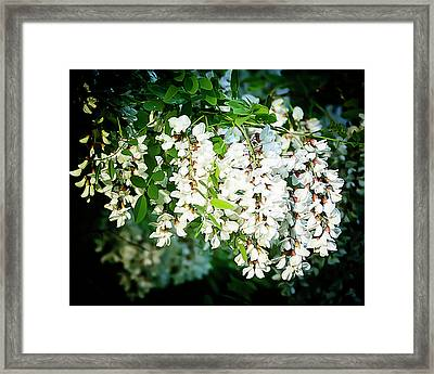 Flowering Locust 2 Framed Print by Michael Putnam