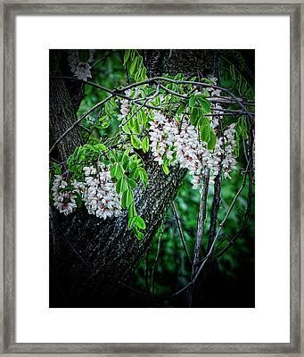 Flowering Locust  Framed Print by Michael Putnam