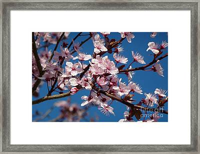 Flowering Of The Plum Tree 5 Framed Print by Jean Bernard Roussilhe