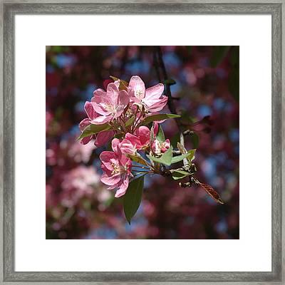 Flowering Pink Dogwood Framed Print by Frank Mari