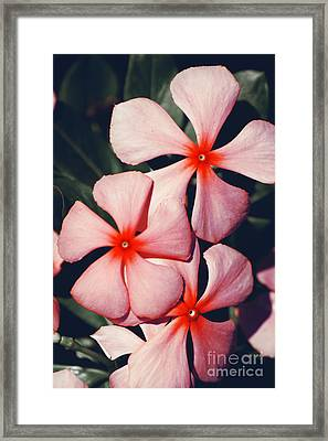 Flowering Pink Periwinkle Framed Print by Jorgo Photography - Wall Art Gallery