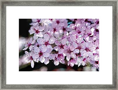 Flowering Plum Framed Print