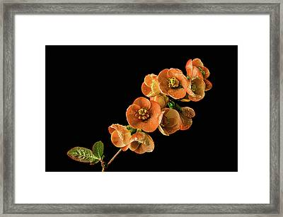 Framed Print featuring the photograph Flowering Quince Orange by Mary Jo Allen